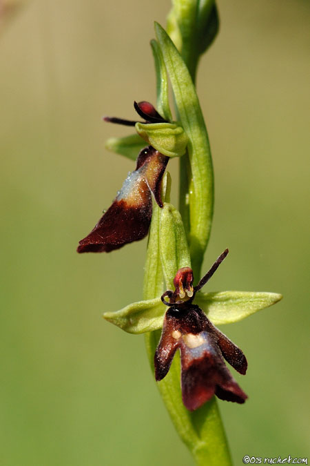 Ophrys mouche (Ophrys insectifera / Fly Orchid) 04-05-2008 Genève, Suisse