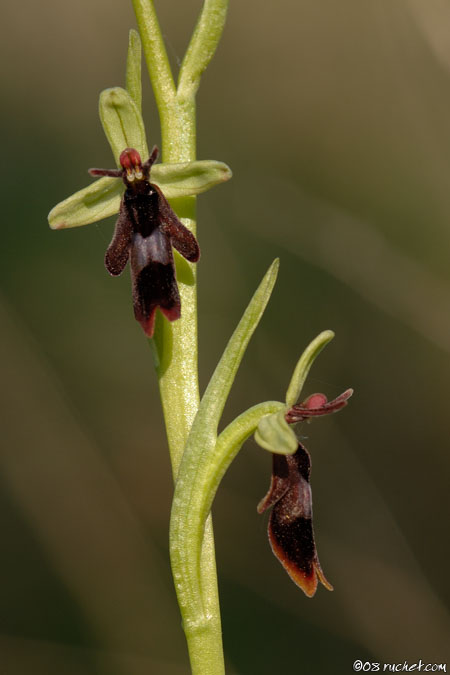 Ophrys mouche (Ophrys insectifera / Fly Orchid) 05-05-2008 Haute-Savoie (74), France