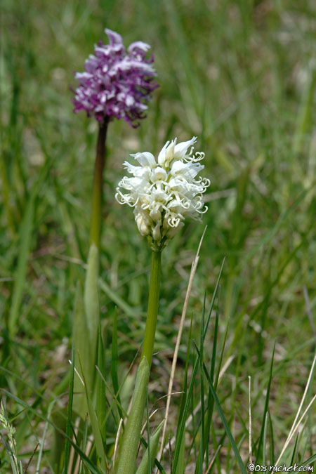 Monkey orchid - Orchis simia
