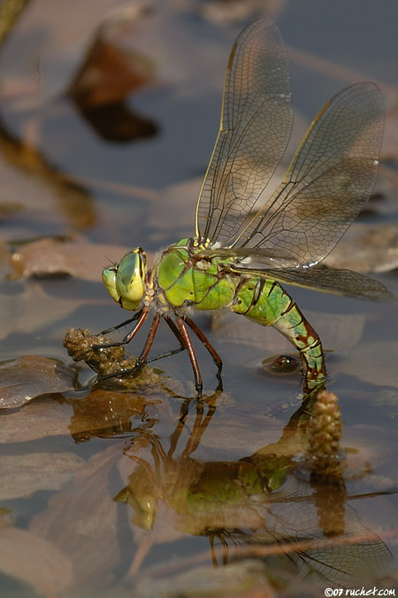 Anax empereur - Anax imperator