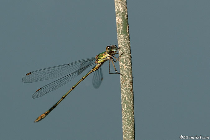 Willow Emerald Damselfly - Lestes viridis