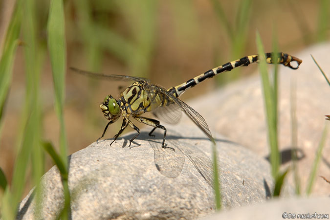 Green-eyed Hook-tailed Dragonfly - Onychogomphus forcipatus