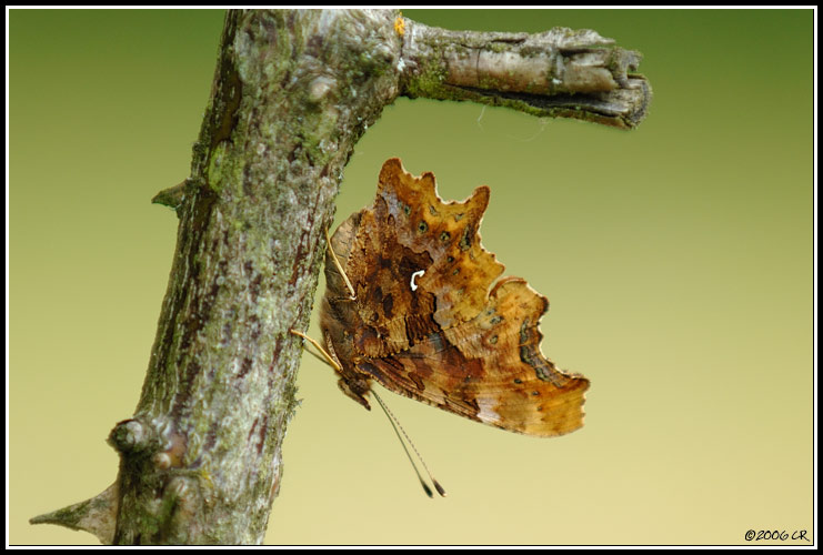 Robert le diable - Polygonia c-album (Comma Butterfly / C-Falter / Polygonia c-album) 17-06-2006