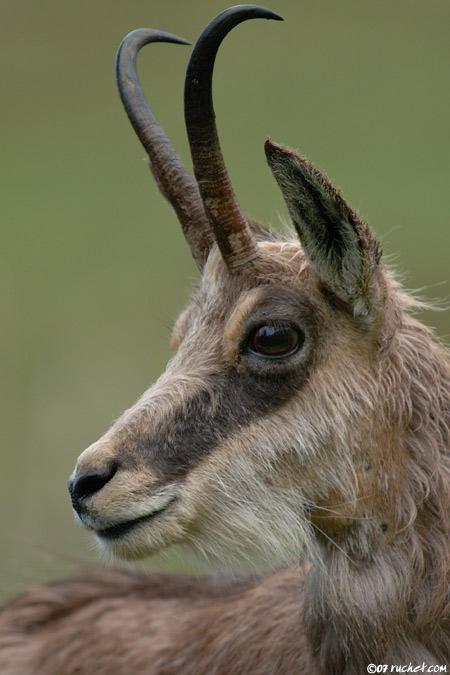 Chamois - Rupicapra rupicapra - Claude Ruchet - Wildlife ...