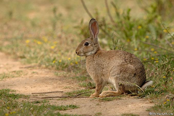 Célèbre Lapin de garenne - Oryctolagus cuniculus (European Rabbit  LM94