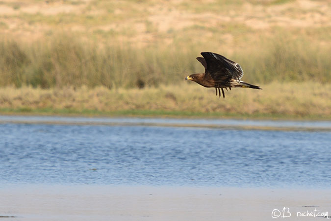 Greater Spotted Eagle - Aquila clanga