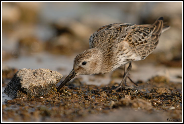 Bécasseau variable - Calidris alpina
