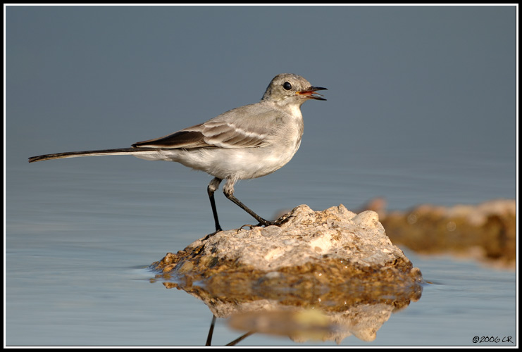 Bergeronnette grise - Motacilla alba (White wagtail (Pied wagtail) / Bachstelze / Ballerina bianca) 23-08-2006