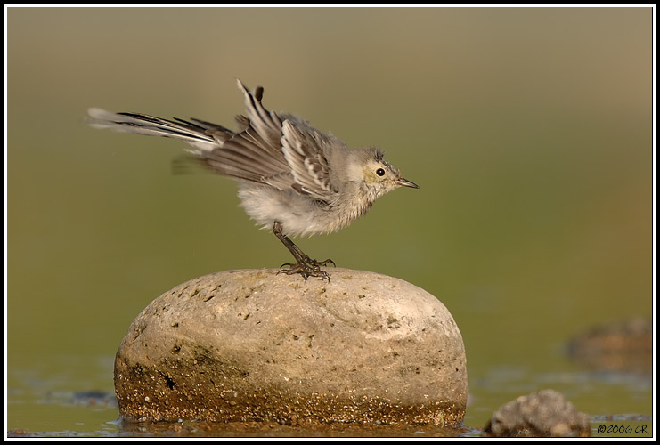 Bergeronnette grise - Motacilla alba (White wagtail (Pied wagtail) / Bachstelze / Ballerina bianca) 19-09-2006