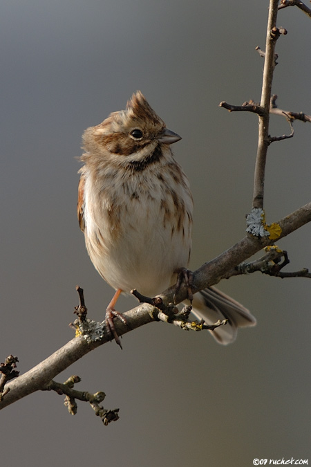 Bruant des roseaux - Emberiza schoeniclus (Common reed bunting / Rohrammer / Migliarino di palude) 11-02-2007