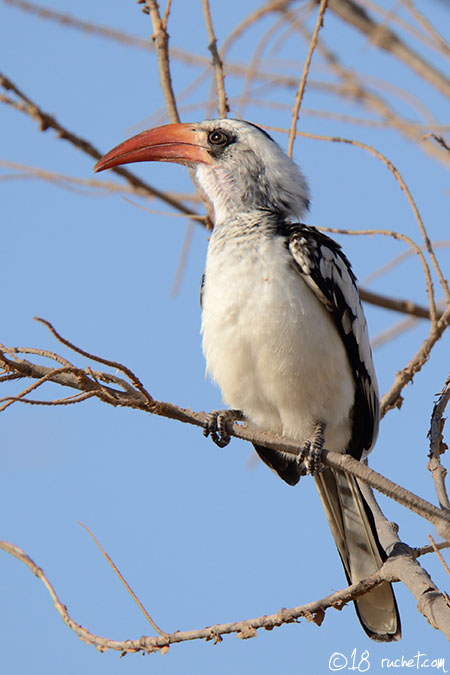 Calao à bec rouge - Tockus erythrorhynchus (Northern Red-billed Hornbill / Rotschnabeltoko / Bucero beccorosso) 20-01-2018 - NIKON D7000 • 600mm (900mm) • 1/1000 s • f/8.0 • 400ISO • Priorité ouverture