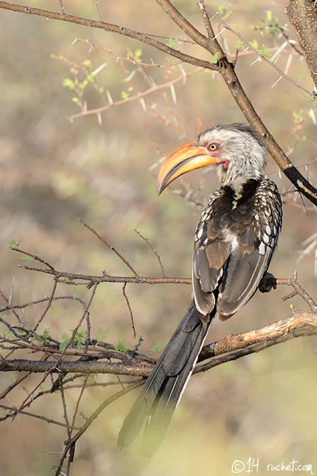 Calao leucomèle - Tockus leucomelas (Southern Yellow-billed Hornbill / Südlicher Gelbschnabeltoko / Bucero beccogiallo meridionale) 22-12-2014 - NIKON D7000 • 460mm (690mm) • 1/320 s • f/8.0 • 400ISO • Manuel