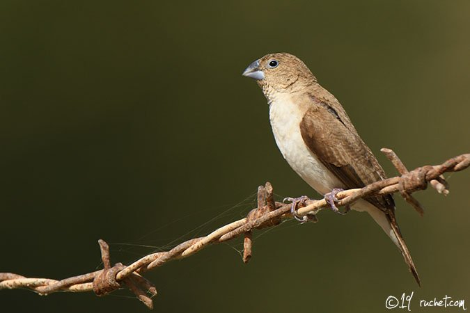 African Silverbill - Euodice cantans