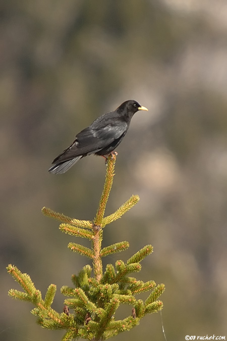 Alpine Chough - Pyrrhocorax graculus