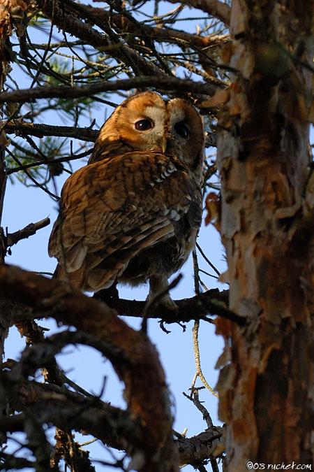 Chouette hulotte - Strix aluco (Tawny Owl / Waldkauz / Allocco) 03-05-2008 - NIKON D2X • 140mm (210mm) • 1/125 s • f/5.6 • 100ISO • Priorité ouverture