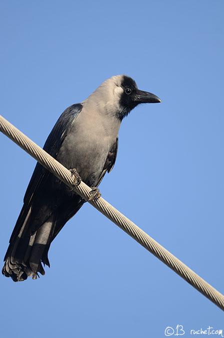 Corbeau familier - Corvus splendens