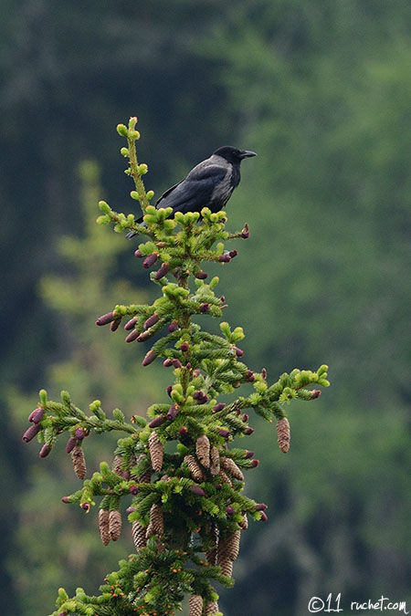 Hooded Crow - Corvus corone cornix