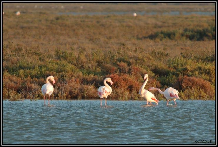 Flamant rose - Phoenicopterus ruber