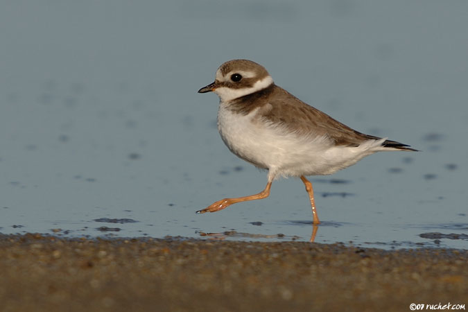 Grand gravelot - Charadrius hiaticula (Great Ringed Plover / Sandregenpfeifer / Corriere grosso) 28-12-2007 - NIKON D2X • 500mm (750mm) • 1/1000 s • f/5.6 • 100ISO • Manuel