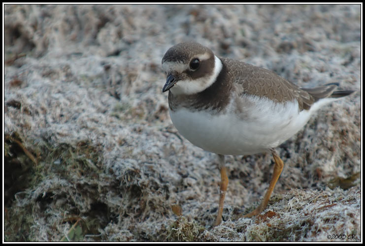 Grand gravelot - Charadrius hiaticula (Great Ringed Plover / Sandregenpfeifer / Corriere grosso) 25-09-2005