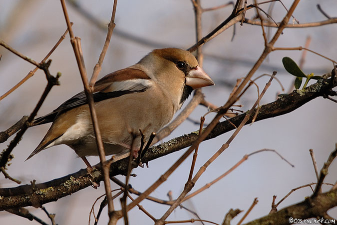 Kernbeisser - Coccothraustes coccothraustes