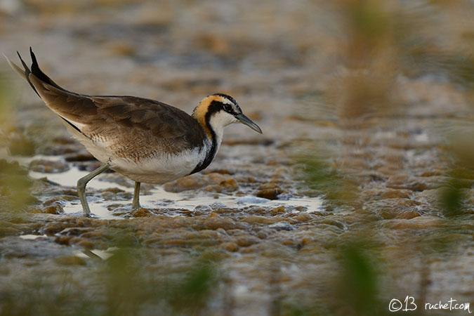 Jacana � longue queue - Hydrophasianus chirurgus