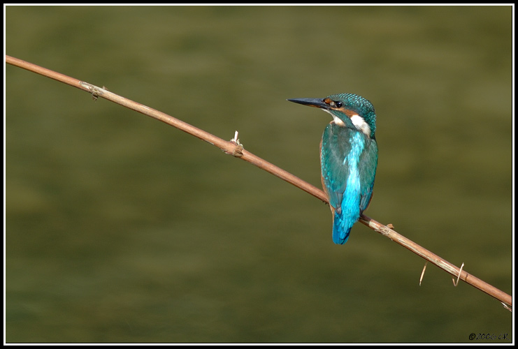 Martin-pêcheur d'Europe - Alcedo atthis (Common kingfisher / Eisvogel / Martin pescatore) 19-09-2006