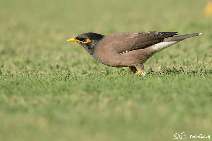 Martin triste - Acridotheres tristis (Common Myna / Hirtenmaina / Maina comune) 21-12-2013 - NIKON D7000 • 500mm (750mm) • 1/800 s • f/5.6 • 200ISO • Priorité ouverture