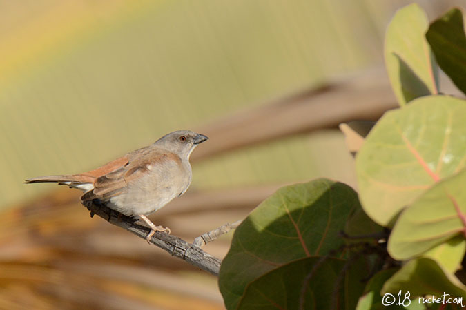 Northern Grey-headed Sparrow - Passer griseus
