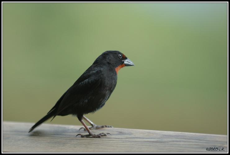 Quelques liens utiles for Oiseau tete noire et blanche