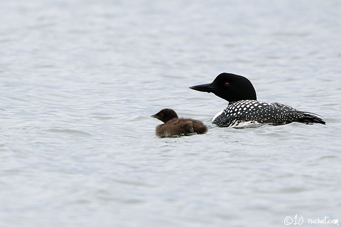 Great Northern Loon - Gavia immer