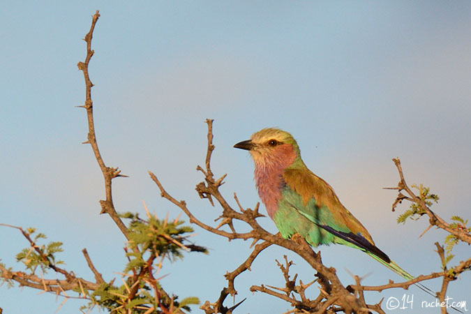 Rollier à longs brins - Coracias caudatus (Lilac-breasted Roller / Gabelracke / Ghiandaia marina pettolilla) 10-12-2014 - NIKON D7000 • 600mm (900mm) • 1/500 s • f/8.0 • 1000ISO • Priorité ouverture