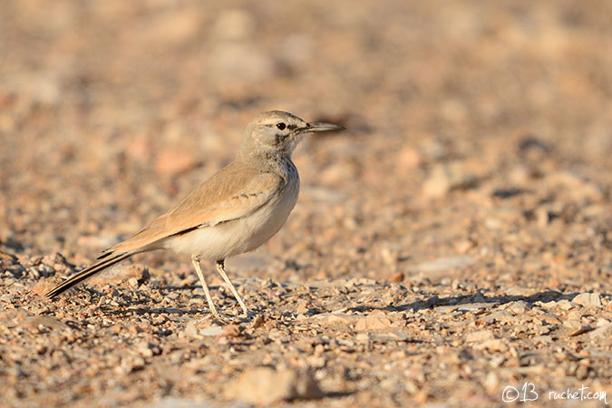 Sirli du désert - Alaemon alaudipes