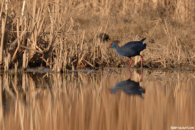 Purple Swamphen - Porphyrio porphyrio