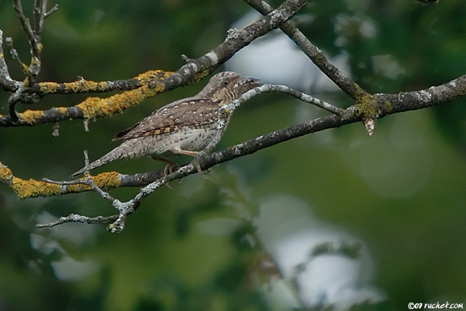 Torcol fourmilier - Jynx torquilla (Eurasian Wryneck / Wendehals / Torcicollo) 03-06-2007