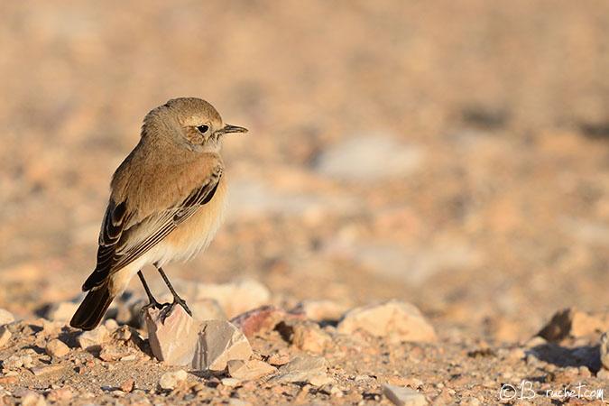Traquet du désert - Oenanthe deserti