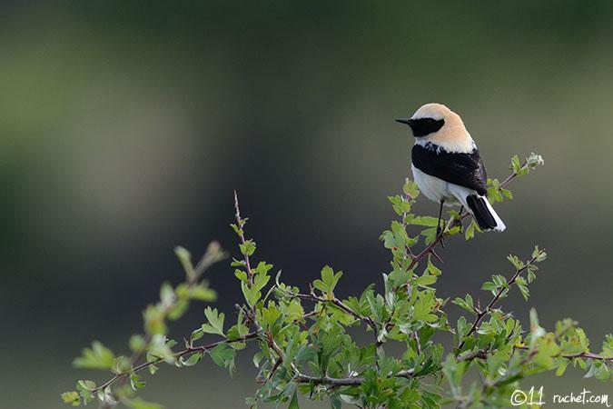 Traquet oreillard - Oenanthe hispanica